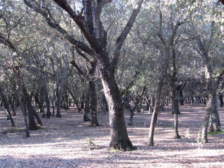 bosque-encinas-binissati (1)